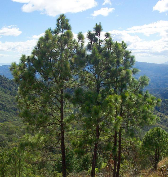 800px-Pinus_oocarpa_Perkin.thumb.jpg.27ecc735c826e1033c78a5c65833f6f3.jpg