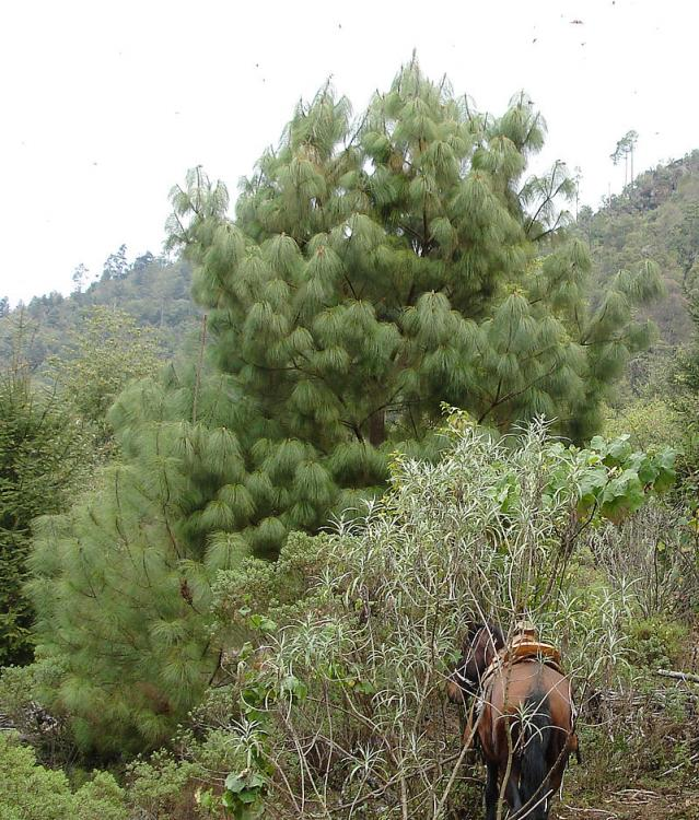 800px-Pinus_pseudostrobus_Cerro_Pelon.thumb.jpg.0c87b7877c9671c7f14b0377bab1ff55.jpg