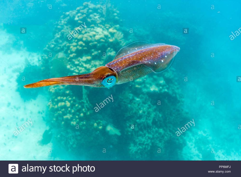 1170701462_calamaro-Teuthida-.thumb.png.8c5b5cd1995ddcb22aeae089c61ed3c3.png