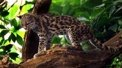 1710900795_GatotrigreoMargayo-Leoparduswiedii-(mspequeoydiferentequeelocelote).png.1e5f73e8b0ed4f0f41e5f707d3c59e5c.png